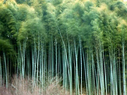 Real Bamboo Tiki Bars Bamboo Information : mosobambooplantation from endlesssummersun.com size 533 x 400 jpeg 41kB